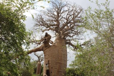 boom klimmen afrika
