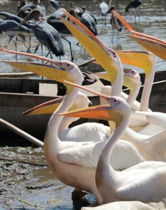 Afbeeldingsresultaat voor hawassa pelikanen